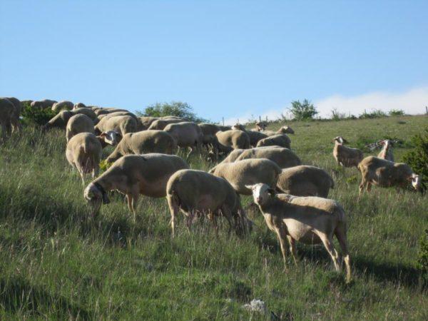 Élevage ovins - Causse de Sauveterre (source : SMGS)